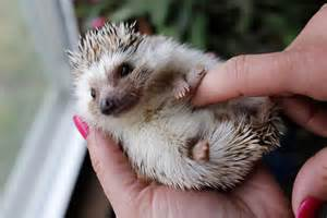 prickly cute hedgehogs finding homes as pets lubbock