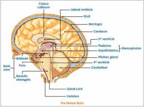 Human brain parts and their functions human brain jpg