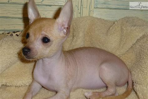 mexican dogs hairless dogs puppies www imgkid the image kid has it