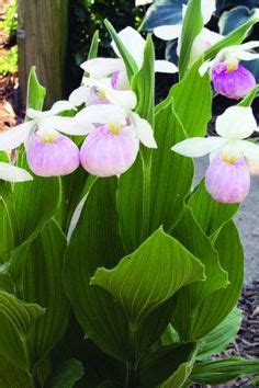 slipper plants for sale 1000 images about slipper orchids on