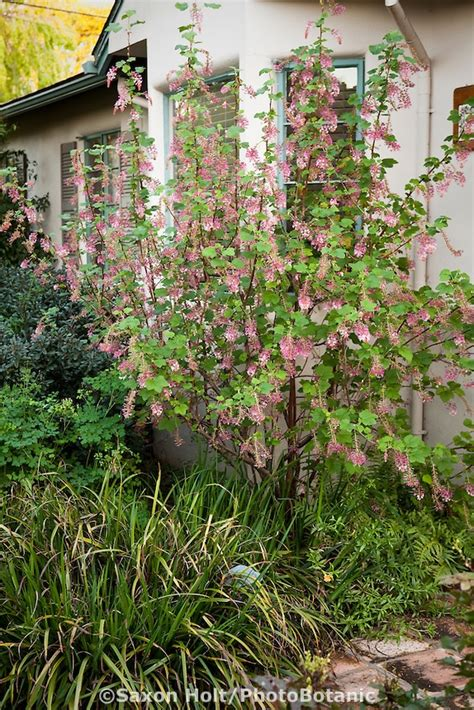 partial sun flowering shrubs ribes sun partial shade alhambra plants