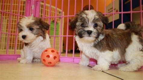 havanese puppies for sale in atlanta ga looking white havanese puppies for sale near atlanta ga at puppies