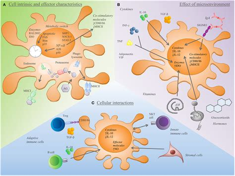frontiers dendritic cells in the frontiers self antigen presentation by dendritic cells