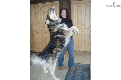 wolf hybrid puppies adoption wolf hybrid puppy for sale near boulder colorado ea3ee723 b6e1