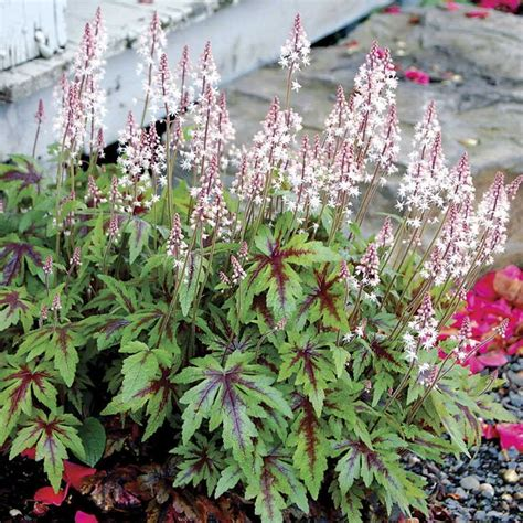 27 best images about tiarella foam flower on pinterest gardens shade plants and book reviews