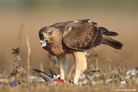 Kinoysan Ketika Merpati Terbang Rendah elang bonelli hieraaetus fasciatus trend burung