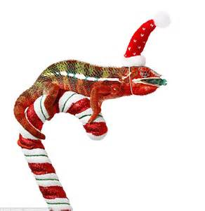 two chameleons wear santa hats while perching on candy