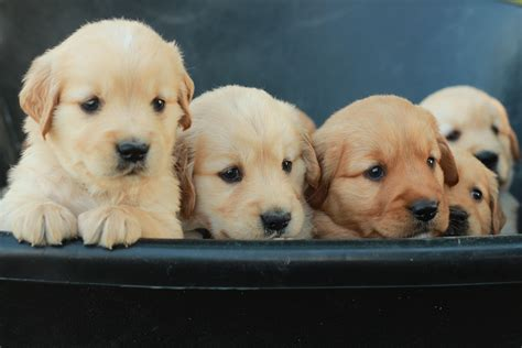 golden retriever puppy care reserve your golden retriever puppy from windy knoll golden retriever puppies
