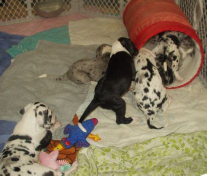 how many puppies can a the time sixstar danes puppies 2005 litter