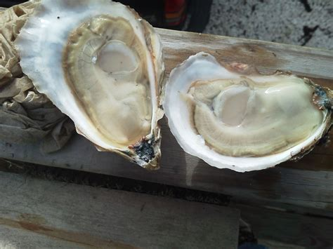 cotuit oysters cape cod cotuit oyster company all - Oyster Company Cape Cod