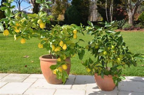 Bibit Tanaman Orange Siklam Cactus budidaya tanaman buah dalam pot yang mudah dan