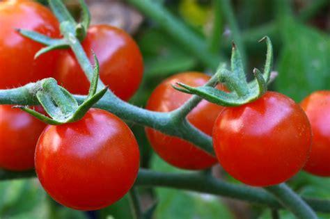 Wie Pflanze Ich Tomaten 4086 by Tomaten Pflanzen 187 Der Gro 223 E Pflanzratgeber