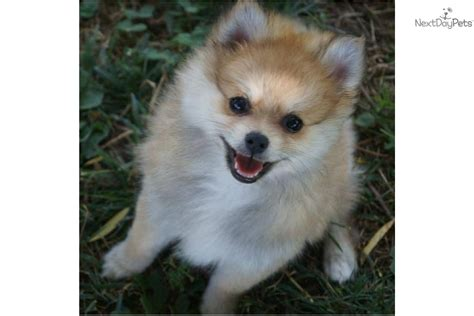 pomeranian st louis pomeranian puppy for sale near springfield missouri 08c47879 3101