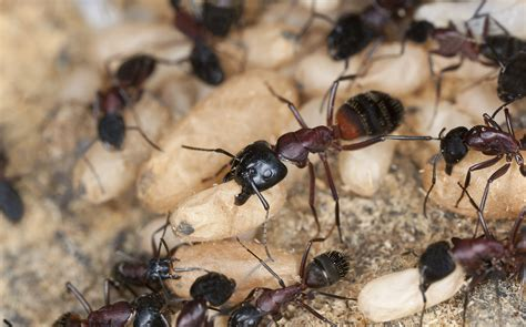 carpenter ants in house carpenter ant wake up call
