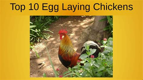best backyard chickens for eggs 100 best backyard laying hens best egg laying
