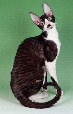 cornish rex resimleri 1000 images about siamese cornish rex cats 2 on