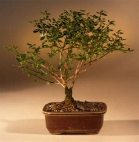 Lucky Bamboo Plant :: Winter Jasmine Money Tree Bonsai