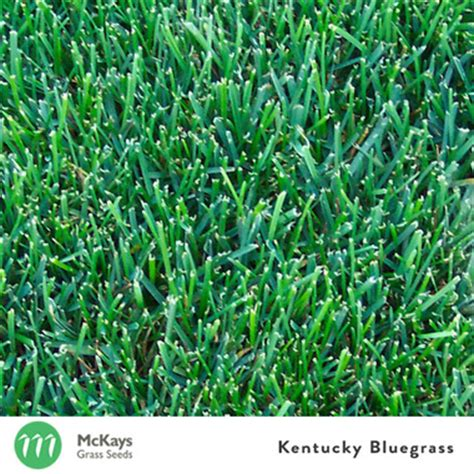 couch grass seeds for sale mckays kentucky bluegrass mckays grass seeds buy grass
