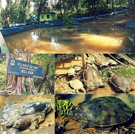 Daftar Sofa Di Cirebon obyek wisata kura kura belawa daftar co