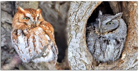 what color are owls owls others of essex ma screech owl color morphs