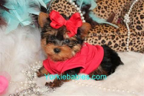 how to take care of teacup yorkies yorkie breed information teacup yorkie care about yorkie how to take care of a