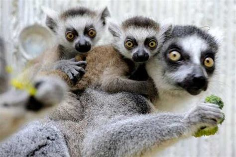 baby lemur your morning adorable baby lemurs cling to mom s back at