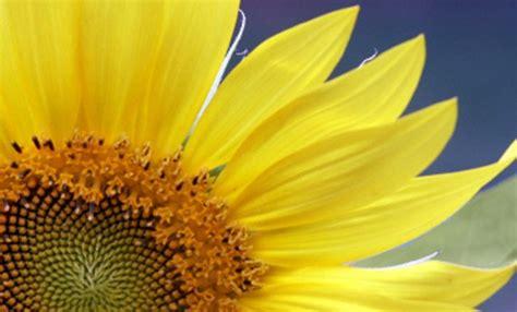 significato dei fiori amicizia significato dei fiori il girasole un raggio di gioia vi