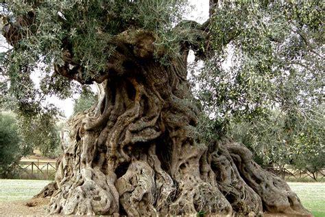 les vanit礬s dans l olea europaea olivier pom pom h 233 rault la jardinerie de la