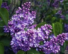purple lilac common purple lilac flickr photo sharing