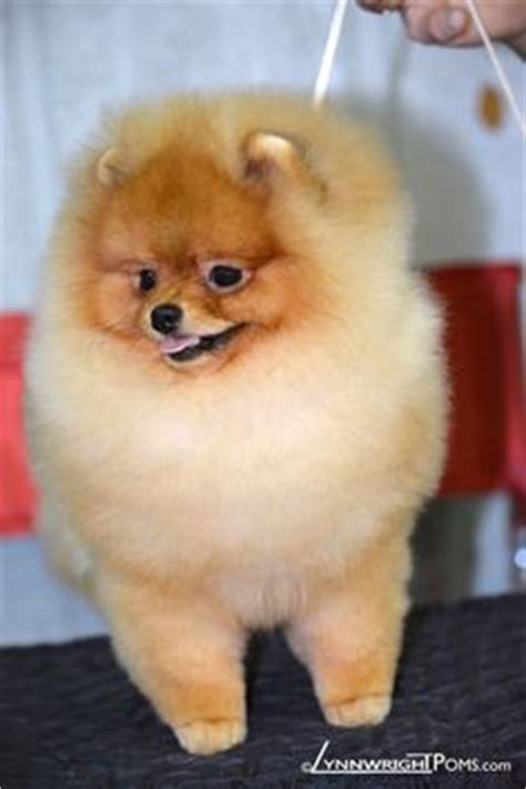how to groom a pomeranian for show fb for insiders users of lynnwrights pom pro lynnwrights pomeranian