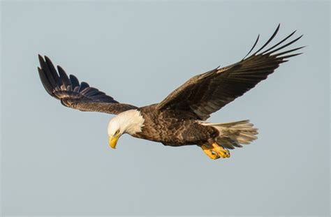 State Birds by Bald Eagle