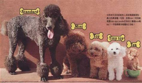 pictures of different types of poodles unit 8 anthropology of u s society