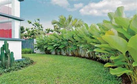 pekarangan rumah sejuk oleh hamparan rumput  pisang