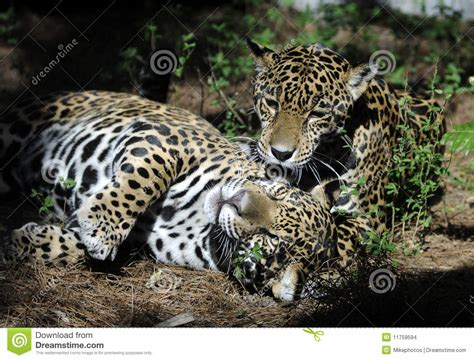 imagenes con jaguar el jugar de los jaguares imagenes de archivo imagen