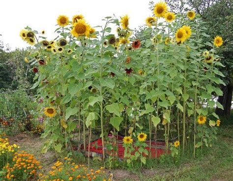 Sunflower Garden Ideas 17 Best Ideas About Sunflower House On Pinterest Sunflower Garden Diy Yard Decor And Tomato