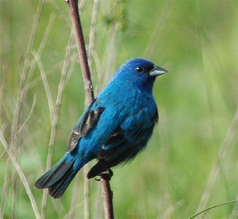 blue bunting birds butterflies bugs pinterest