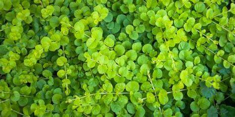 prati da giardino dicondra la pianta infestante per prati erbosi facili da