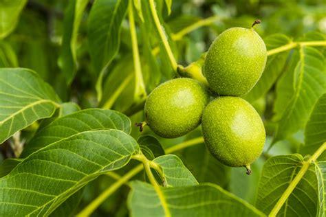 walnussbaum schneiden wann walnussbaum juglans regia pflanzen schneiden und pflege