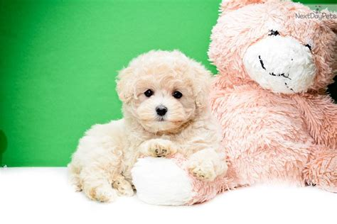 teacup puppies for sale in ohio 200 malti poo maltipoo puppy for sale near columbus ohio 683af9d9 9db1