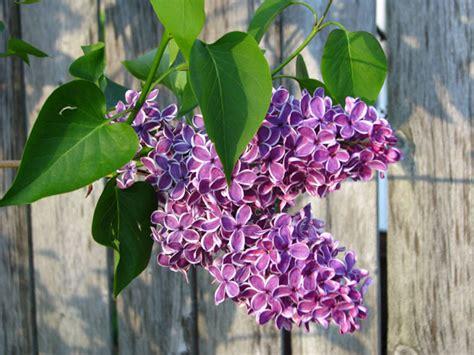 purple lilac purple lilacs free stock photo public domain pictures