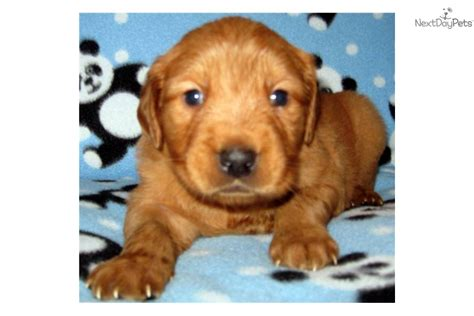 golden retriever puppies tucson golden retriever puppy for sale near tucson arizona 94b3fd60 c0a1