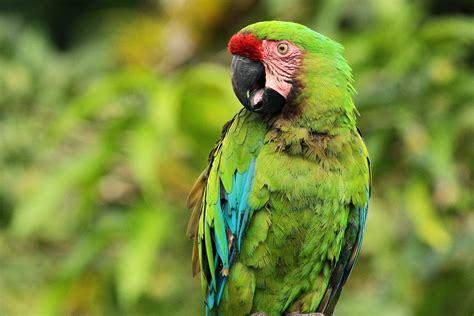 imagenes guacamayas verdes el guacamayo verde