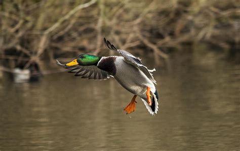 google images ducks mallard duck google search luv ducks pinterest mallard