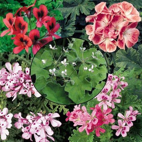 best scented geranium indoors 120 best images about scented geraniums on plymouth blue geranium and the leaf