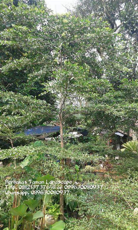 jual pohon ketapang kencana murah pohon peneduh tukang