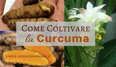 come coltivare in casa come coltivare la curcuma in casa in vaso o in giardino