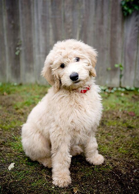 Goldendoodle Dog Breed Information, Pictures