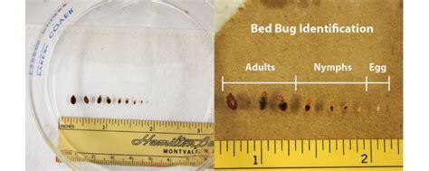 bed bug size comparison bed bug images zappbug
