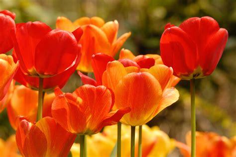 Orange Pilze Im Garten by Rote Und Orange Tulpen Foto Bild Pflanzen Pilze