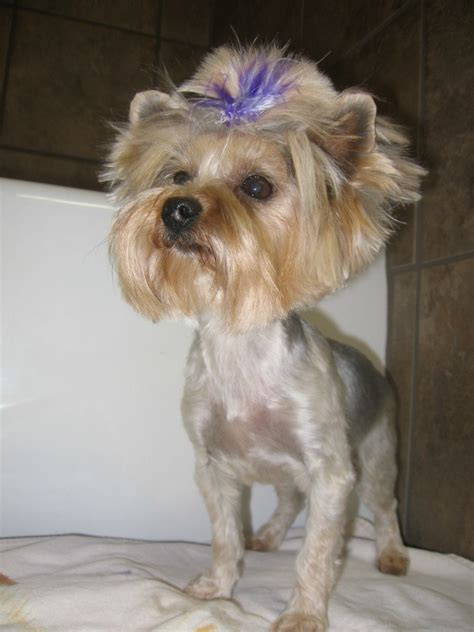 yorkie dog hair styles 13 humans who have no problem taking awkward photos of